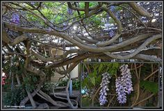 "According to the Guinness Book of World Records, ""The Largest Blossoming Plant"" is an enormous Chinese wisteria vine (Wisteria sinensis) growing at a private residence in the quaint city of Sierra Madre in southern California. Sierra Madre California, Southern California, Chinese Wisteria, White Wisteria, Blooming Plants, Midsummer Nights Dream, Weird And Wonderful, Mother Earth, Your Life"