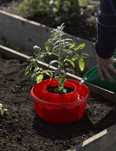 Pop-Up Tomato Plant Protector Serves as a Mini Greenhouse to Accelerate Growth — Plants Grow 25% Faster!