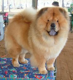 I want a chowchow. So much.