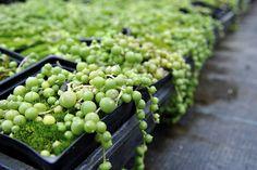 """Succulent - Senecio Rowleyanus """"String of Pearls"""""""