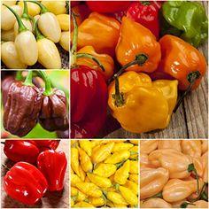 15 Graines de piment Habanero Congo Trinidad Red Chilli pepper seeds