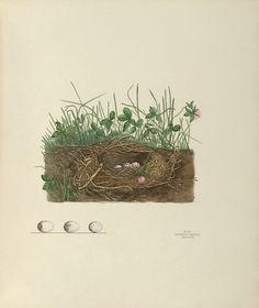 Bird's Nest with Grasses and Clover