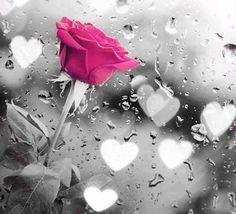Rose in the rain Butterfly Kisses, Color Pop, Colour Splash, Black White Pink, Pink Grey, Black White Photos, Black And White Photography, Pink Roses, Rose Flowers