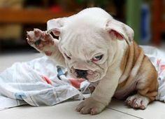 ♥ English Bulldogs ♥ ♥ ♥ ♥