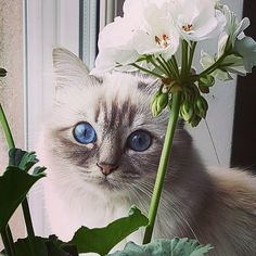 It's #fancyfriday and sweestest bluetabby Wintra  @wintra_marsipan_af_mazzy hope all birmanfriends get some Friday flowers  #birmans #birman #sacredbirman #heligbirma #birmania #birmanie #pyhäbirma #instabirmans #birmansofinstagram #blueeyes #whitecats #fluffycats #instacats #catsofinstagram #cats #kittens #instakittens #kittensofinstagram #lovecats #birmavanner #tabbycats #toocute #beautifulcats #excellentcats #tortiecats #cutepetclub #blåtabby #bluetabby #felinefriday