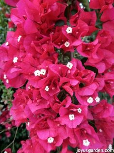 The Secrets Of Bougainvillea: Sharing All I Know About This Colorful Plant. Bougainvillea is a riot of color. It's a very popular landscape plant here in Southern California. I share everything I know about caring for & growing bougainvillea. joyusgarden.com #bougainvillea #gardeningtips #gardening