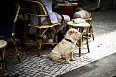 Parisian puppies