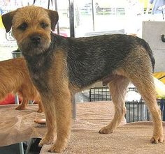 Border Terrier Not used to seeing one so perfect looking! Love my all messed up version, Finn!