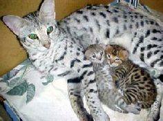 savannah cat   Directory of Cats - Cat Dictionary - Savannah Cat