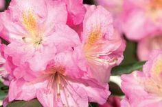 Rhododendron 'Scintillation' Der Rhododendron 'Scintillation' ist ein wintergrüner Rhododendron mit kompaktem Wuchs und fantastischen hellrosafarbenen Blüten.