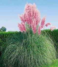 seedeo hohes pampasgras (cortaderia selloana) weiss 200 samen, Gartengestaltung