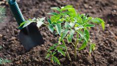 Citronträd – så odlar du citron hemma | Mitt kök Plants, Guide, Blog, Gardens, How To Plant Tomatoes, Gardening Tips, Lemon, Blogging, Plant