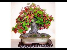 Acerola, Plantar, Youtube, Home Crafts, Exotic Fruit, Agriculture, Flowers, Pretty