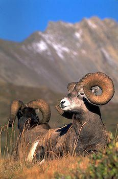 Big Horn Sheep~sometimes have them in the yard at Holter Lake cabin ~