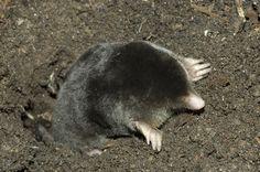 Iberian Mole