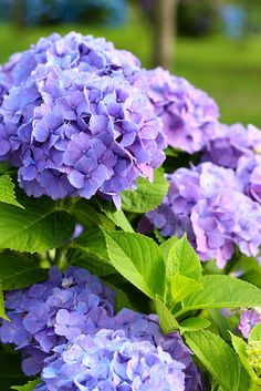 hydrangea - blue, purple, pink or white ... change the bloom colour with soil amendments to pH level