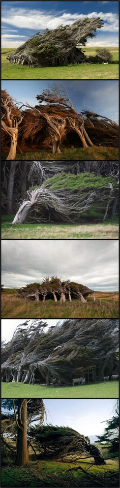 'The Twisted Trees of Slope Point' Catlins, South Island, New Zealand   Air streams loop the ocean, unobstructed for 2000 miles, until they reach Slope Point causing incredibly strong winds.  In fact, the winds are so strong and persistent here that they perpetually warp and twist the trees into these crooked, wind-swept shapes.