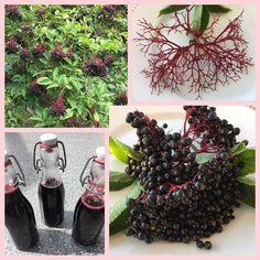 Holunder ist schon seit vielen Jahrhunderten als Heilpflanze bekannt und wurde früher als natürliche Apotheke im Garten angepflanzt. #edgarten #gartenblog #holunder Blackberry, Medicinal Plants, Harvest, Remedies, Woman, Blackberries, Rich Brunette