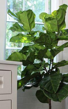 Fiddle leaf fig tree likes filtered light in kitchen via Gardenista