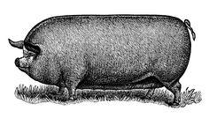 English White Sow, vintage pig clip art, black and white graphics, farm animal art, printable pig illus