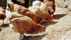 Cosa mangiano le galline ovaiole? In questo articolo potrai scoprire quali alimenti sono consigliabili per le galline ovaiole e quali invece dovresti evitare.