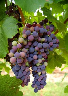 Vineyards wine grapes,Rutherglen, Victoria