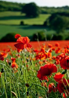 English Poppy Fields. As if England wasn't already the most amazing place in the world. :)