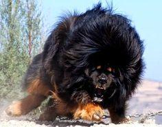 La raza de perro más cara del mundo! el Mastín Tibetano | Noticias Cool
