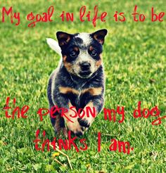 What a cutie My Goal In Life, Australian Cattle Dog, Boston Terrier, I Am Awesome, Best Friends, Puppies, Goals, Cute, Animals