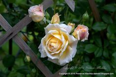 Juste  des Photos  Pro  Provence.: Rosier Crown Princess Margareta 2016