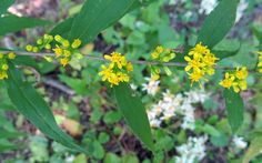 BLUE-STEMMED GOLDENROD: (Solidago caesia).  Photographed at McConnell's Mill State Park in Lawrence County, PA, Sept. 11, 2012.