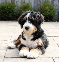 Standard Bernedoodles - SwissRidge Bernedoodles - The Originator of the Breed