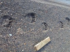 polar bear tracks by our quonset hut Quonset Hut, Animal Tracks, Big Bear, Polar Bear, Alaska, Bears, Survival, Outdoors, Health