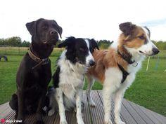 Djego / Labrador, Ronny / Border Collie, Arno / Collie-Mix (v.L.n.R.)