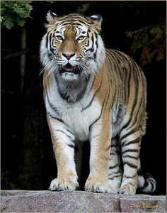 Tigress Elena posing | Flickr - Photo Sharing!