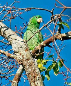 Amazona de Kawall (Amazona kawalli)