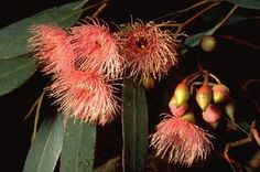 Eucalyptus sideroxylon...Red Ironbark