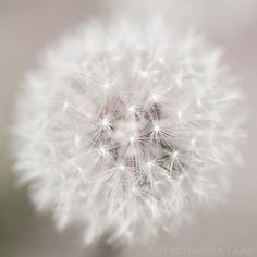 Beautiful picture of a dandelion. I wish I may. I wish I might. (blows the wish through the dandelion) Pure White, Black And White, Cream White, Dandelion Wish, White Dandelion, Dandelion Seeds, Dandelion Clock, Morning Mood, Monday Morning