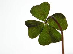 four-leaf-clover-2.jpg (2048×1536)