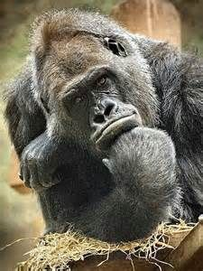gorilla friend - Yahoo Search Results Yahoo Image Search Results