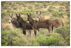 Burros, the name for our wild donkeys in the US.