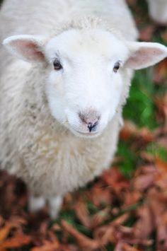 Smiling sheep!!!