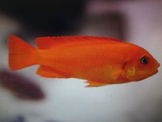 4 X 4-6 CM PSEUDOTROPHEUS CORAL RED MALAWI CICHLIDS at Aquarist Classifieds