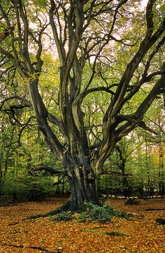 Frithsden Beeches Area, Ashridge Commons and Woods, Hertfordshire, UK | conserved by the National Trust and a UK Biological Site of Special Scientific Interest