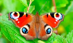Peacock butterfly. Some spring species emerged several weeks early in March, but the wettest April on record and the continuing rain this month has delayed the appearance of many butterflies. Photograph: Alamy