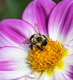 Bumblebee on Apopa Sky Dahlia