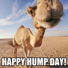 Whaaaaat day is it? It's HUMP Day…. Time to plan the week end… Join us for fun, food and so much more… Funny Hump Day Memes, Hump Day Quotes, Funny Jokes, Happy Quotes, Life Quotes, Hilarious, Funny Sports Pictures, Funny Photos, Hump Day Camel