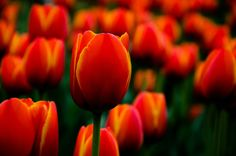 Spring #tulip #flower #red #orange #macro Love Photography, Tulips, Centerpieces, Orange, Spring, Flowers, Red, Center Pieces, Royal Icing Flowers