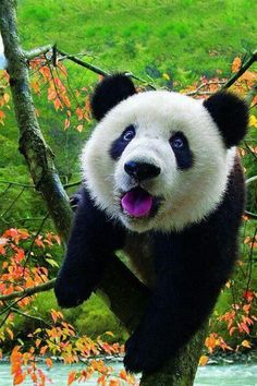 see a real live panda. All the zoos where I live don't have pandas, and when I went to San Diego and D., the pandas were sleeping so I couldn't see them :( Cute Funny Animals, Cute Baby Animals, Animals And Pets, Wild Animals, Panda Love, Cute Panda, Happy Panda, Beautiful Creatures, Animals Beautiful