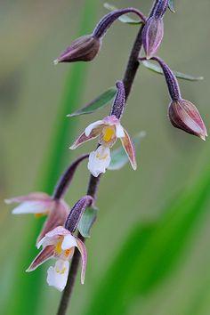 Marsh helleborine--Epipactis palustris